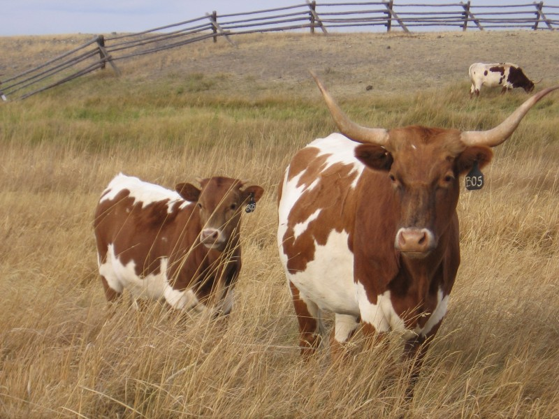 Cattle at Grant-Kohrs Ranch National Historic Site