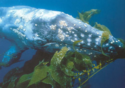 pacific gray whale