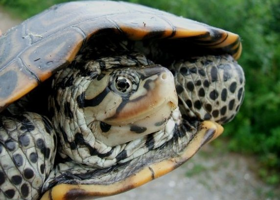 Species Spotlight: Terrapin Jamaica Bay Oh, Ranger!