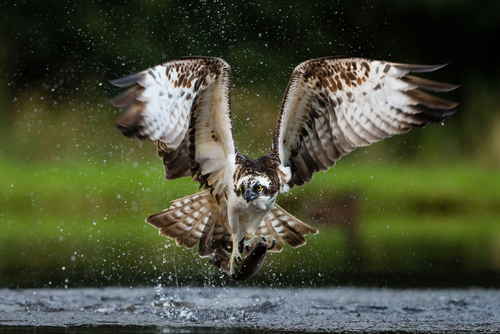 Image: Osprey with fish.  Source: Nathan Winters