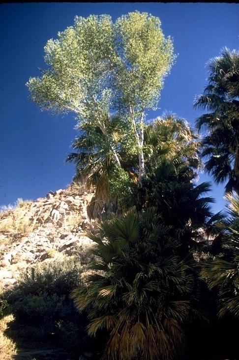 Joshua Tree, 1924