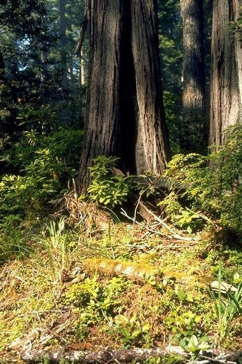 Redwood, 2151