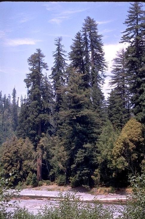Redwood, 9346
