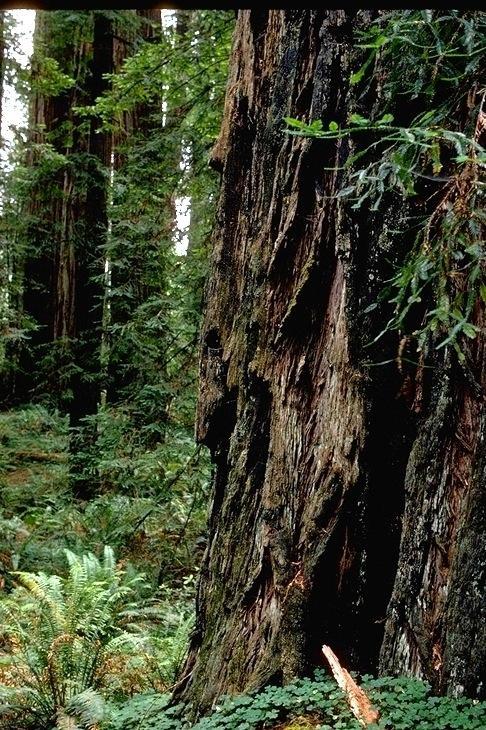 Redwood, 9350