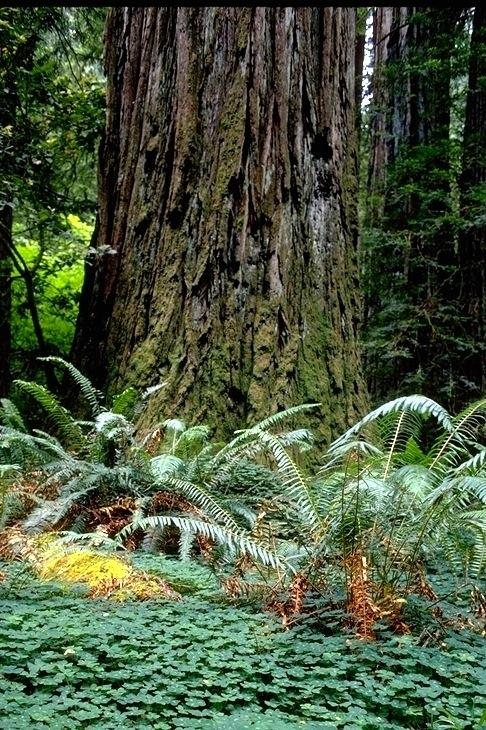 Redwood, 9351