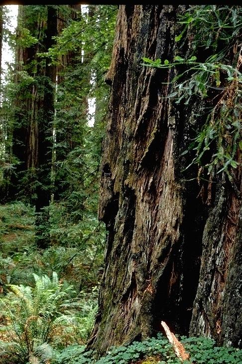 Redwood, 9352