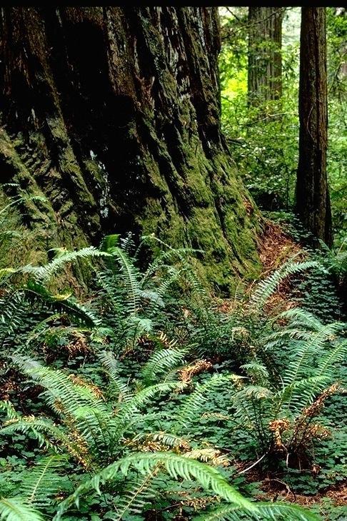 Redwood, 9353