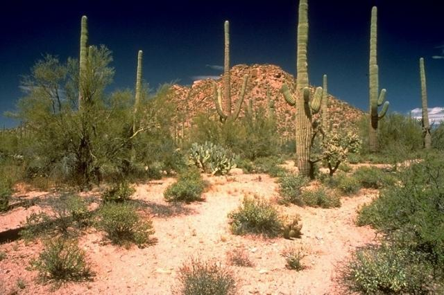 Saguaro, 4642