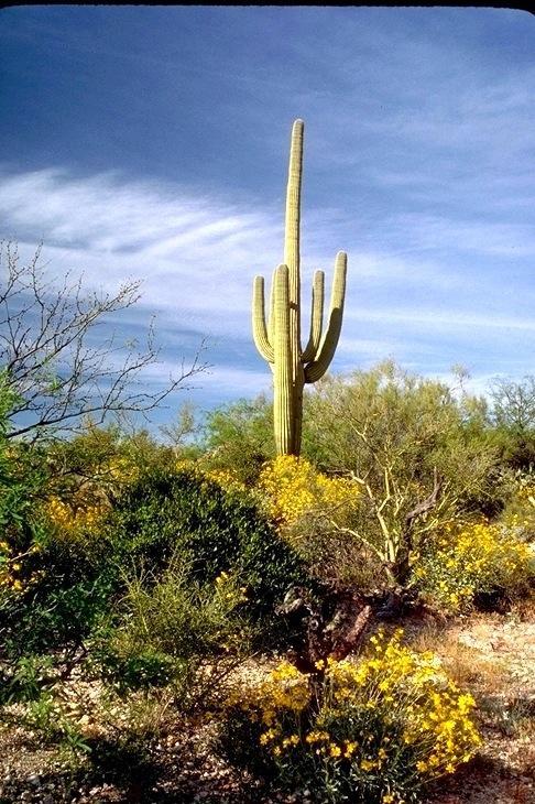 Saguaro, 4643