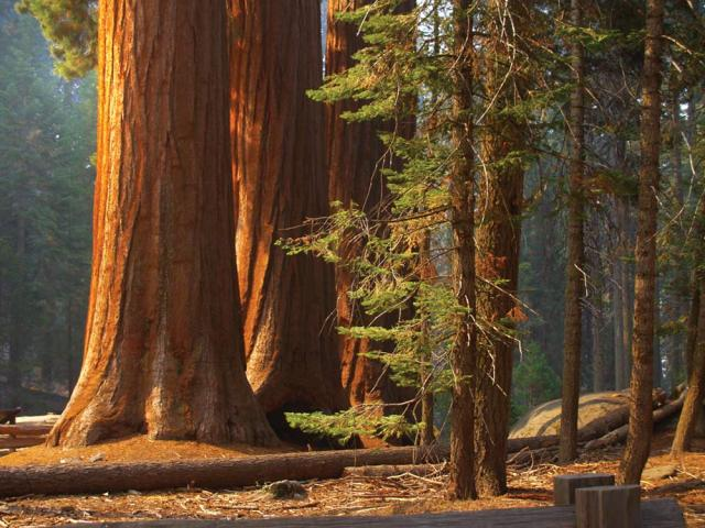 Three Sequoias
