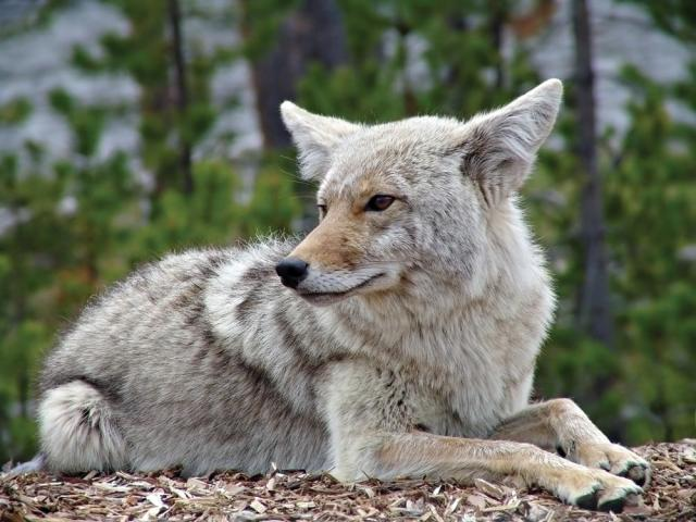 Coyote Sitting