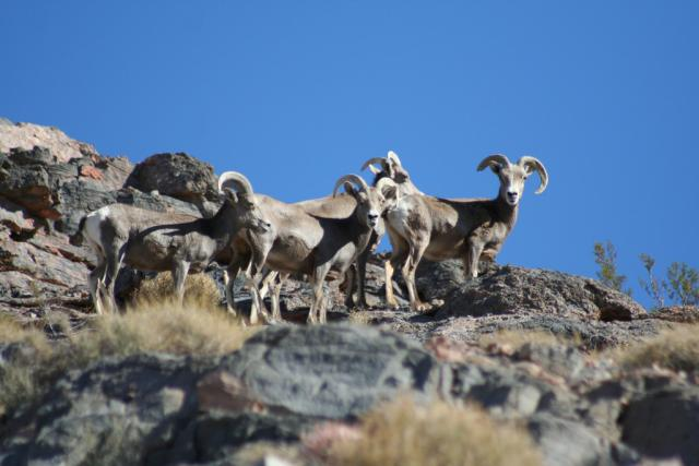Bighorn Sheep at Point of Rocks