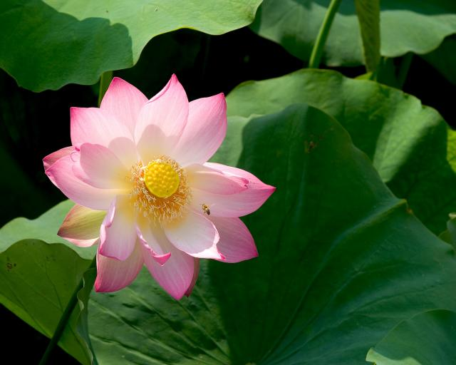 Lotus flower at Echo Park Lake