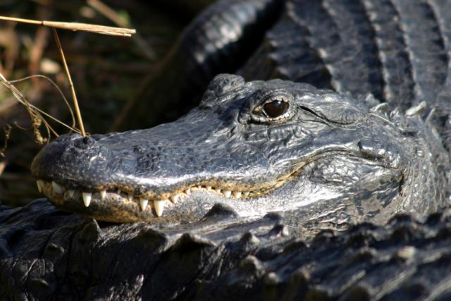 American Alligator in Everglades National Park