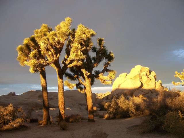 Joshua Trees at sunrise in Joshua Tree National Park