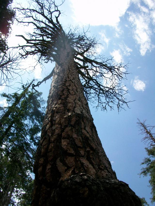 Dead Sequoia Tree