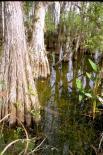 Big Cypress : Big Cypress, 1059