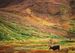 Denali : Reindeer Tundra