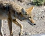 Death Valley : Coyote Prowl