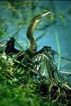Everglades : Everglades, 1496