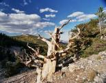 Great Basin : Bristlecone Pine