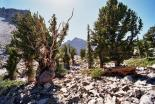 Great Basin : Bristlecone Pine Forest