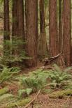 Muir Woods : Trees and Ferns