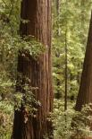 Muir Woods : Trees and Foliage