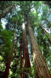 Muir Woods : Muir Woods, 4195