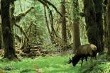 Olympic : Roosevelt Elk