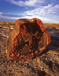 Petrified Forest : Petrified Tree