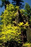Redwood : Redwood, 9345