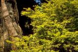 Redwood : Redwood, 9348