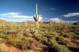 Saguaro : Saguaro, 4639