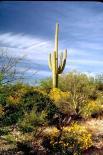Saguaro : Saguaro, 4643