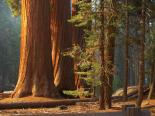 Sequoia & Kings Canyon : Three Sequoias