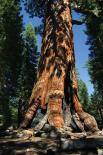 Yosemite : Grizzly Giant