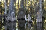 Everglades : Great Egret among Cypress at Everglades National Park