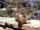 : Squirrel at Grand Canyon