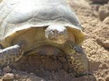 Living Desert Zoo & Gardens (NM) : Bolson Tortoise