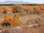 Mesilla Valley Bosque (NM) : Fall Colors at the Bosque