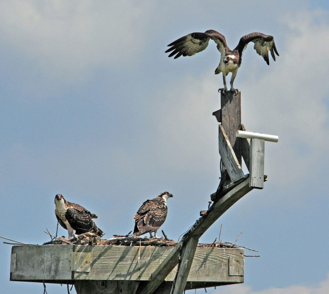 Ospreys gather on a nest at Blackwater National Wildlife Refuge in Maryland. A webcam located below the bird with opened wings gives a close-up view of nesting activity. (Photo: Tom Lorsung)