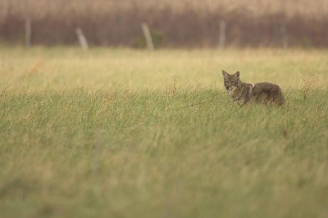 Coyote Field