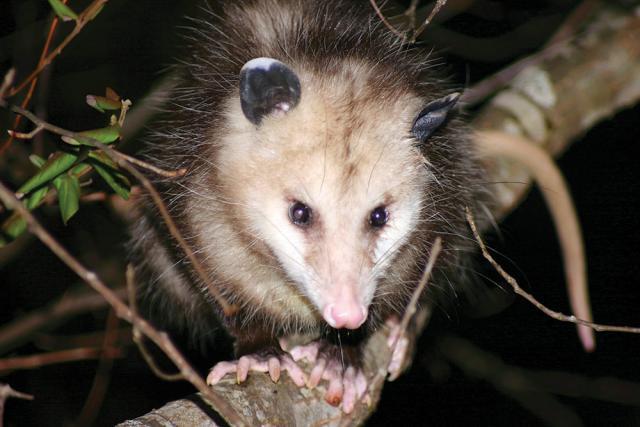 Night Opossum