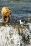 Katmai : Grizzly Fishing