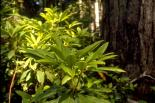 Redwood : Redwood, 9347