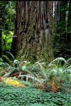 Redwood : Redwood, 9351