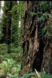 Redwood : Redwood, 9352