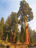 Sequoia & Kings Canyon : Sentinel Tree