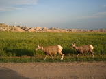 Badlands : Bighorn Sheep at Badlands National Park